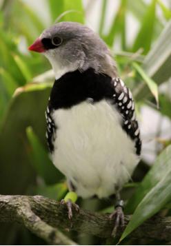 Australische Prachtfinken